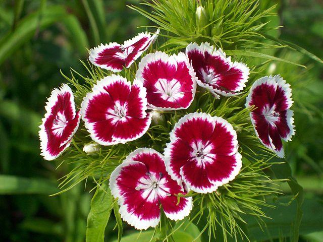 640px-Dianthus-barbatus
