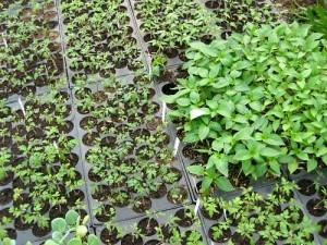 seedlings-300x225